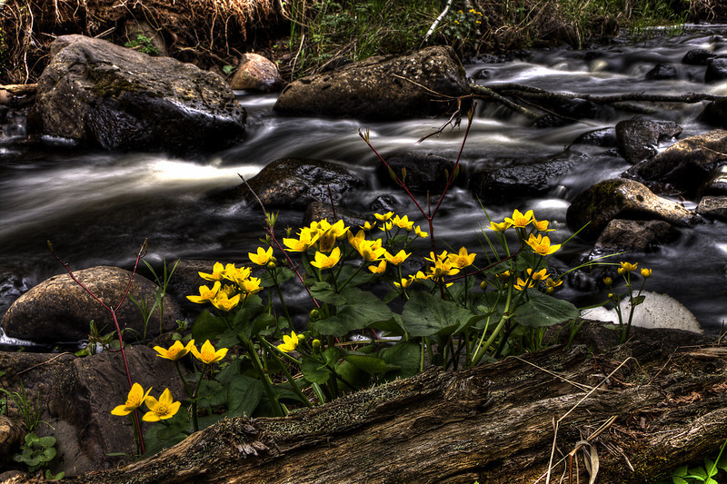 Todd Harbor Marsh Marigolds