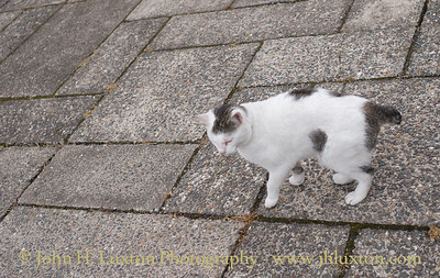 Stumpy Manx Cat, Summerhill Gardens, Douglas, Isle of Man - June 16, 2018