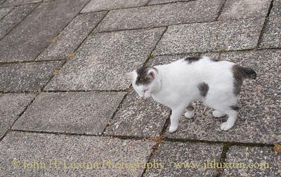 Stumpy Manx Cat, Summerhill Gardens, Douglas, Isle of Man - June 16, 2018
