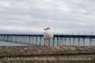 Little Gull, Queen's Promenade, Ramsey, Isle of Man - November 03, 2017