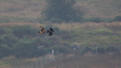 Female Hen Harrier....she did warn you, better get a move on Mr.Hoody!