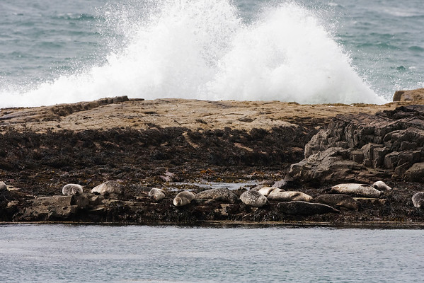 Grey seals enjoying the sunshine down at Carsaig