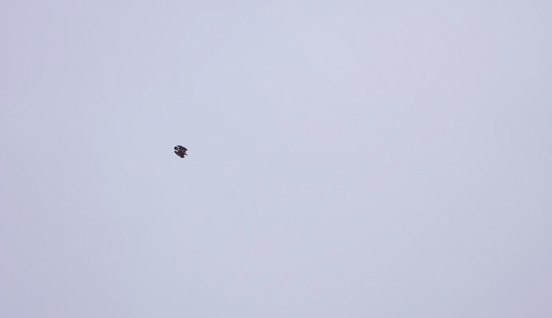 A distant shot of a golden eagle swooping down at speed
