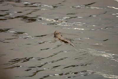 A camera shy otter at Loch Na Keal