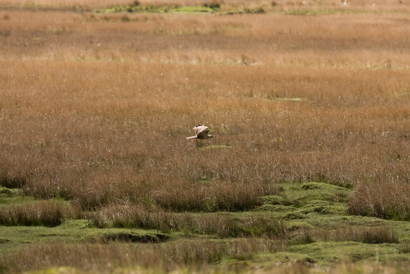 A very pale plumaged common buzzard at Loch Beg