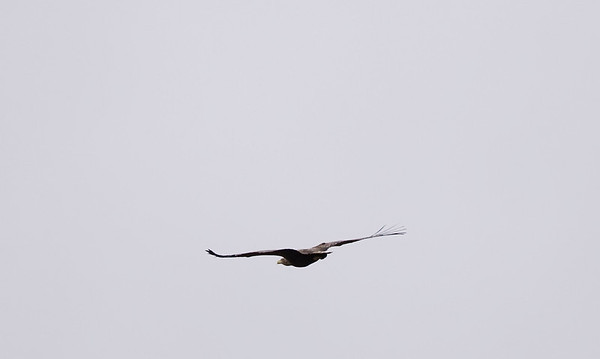 This white tailed sea eagle just came gliding down the estuary in Gorten