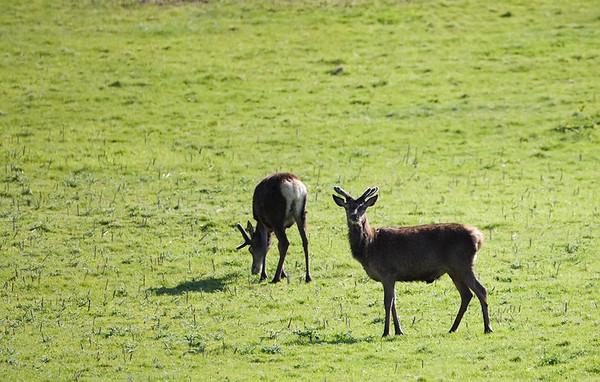 Wild red deer