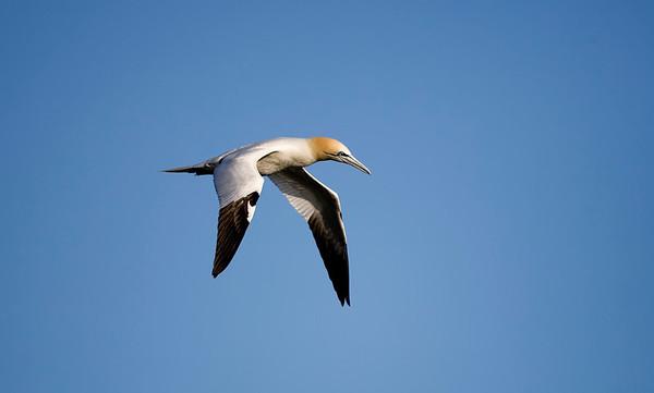 A gannet at Loch Scridain