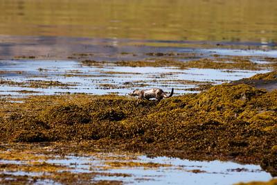 An otter down at Loch Scridain