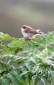Juvenile whitethroat
