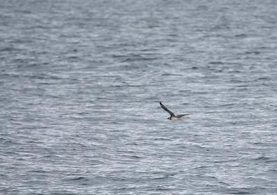 record shot of pomarine or arctic skua