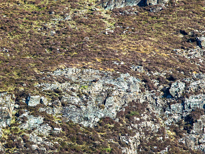 Golden Eagle (perched centre of picture)