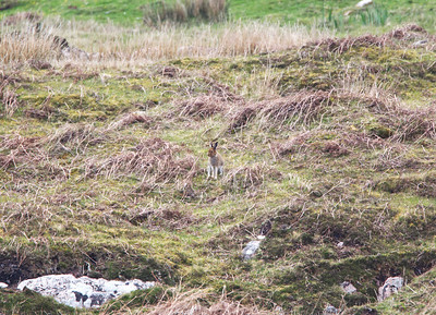 Mountain Hare, still with some of its winter coat