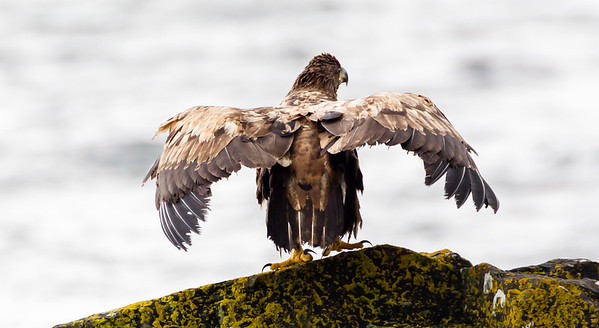 Juvenile white tailed eagle