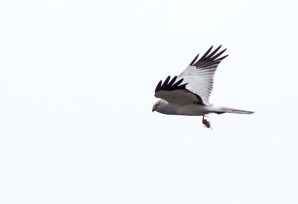 Male hen harrier with prey