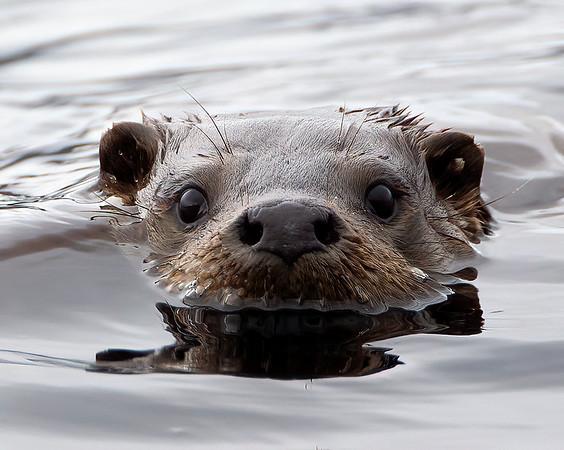 Wild Otter
