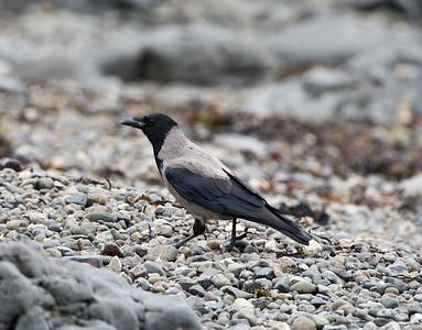 hooded crow, pennyghael