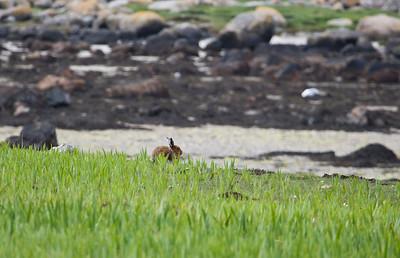 mountain hare, fidden