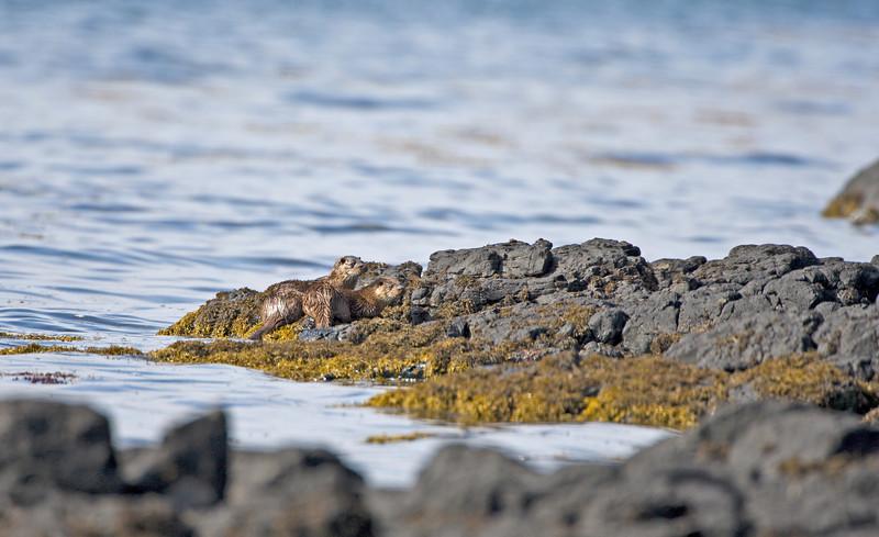 otters at loch scridain