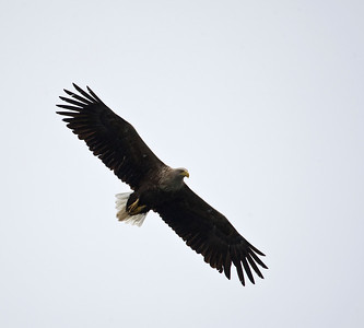 white tailed sea eagle, loch na keal