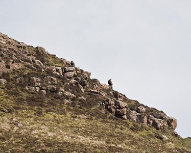 a pair of golden eagles, glengorm