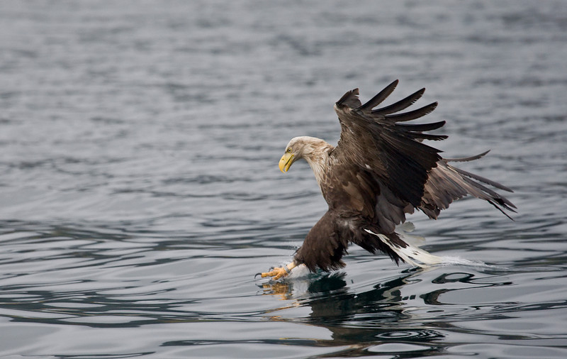white tailed sea eagle about to take a fish off the water, loch na keal