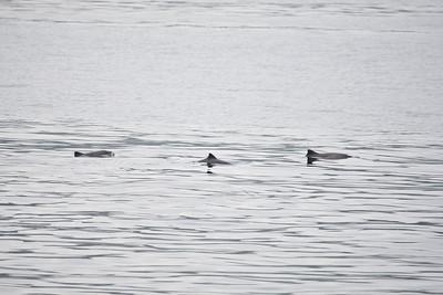 harbour porpoises, sound of mull
