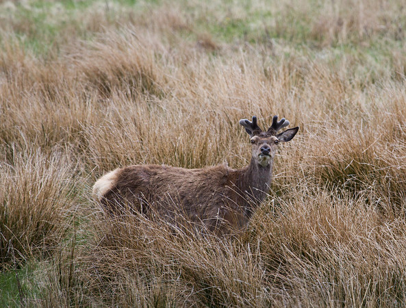 the marty feldman of red deer! Pennyghael
