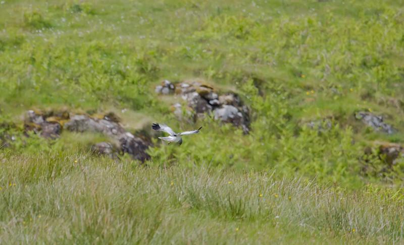 Male hen harrier, Isle Of Mull