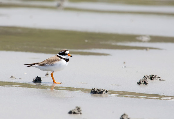 Ringed Plover, Isle Of Mull