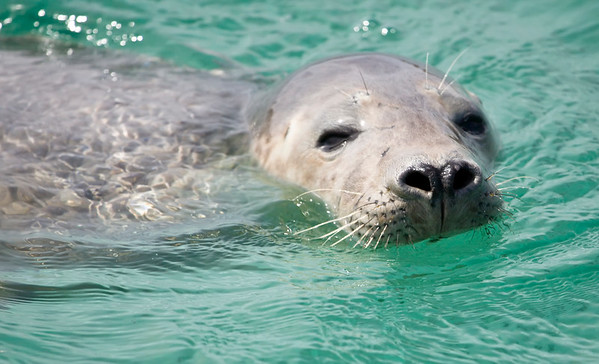 Common Seal, observed whilst on a tour with Sea Life Surveys, which sails from Tobermory,Isle Of Mull