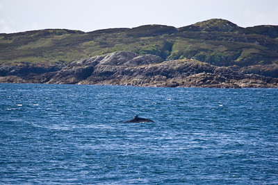 Minke Whale, observed whilst on a tour with Sea Life Surveys, which sails from Tobermory,Isle Of Mull