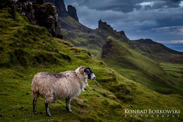 Sheep at Quiraing , Isle of Skye.
