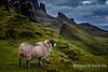 Sheep at Quiraing , Isle of Skye.