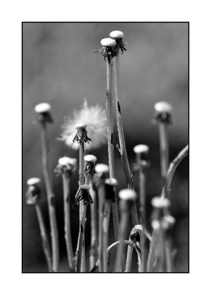 Dandelion stalks.
