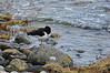 Oyster catcher.