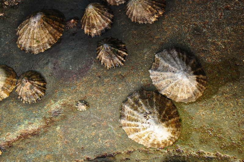 Limpets.