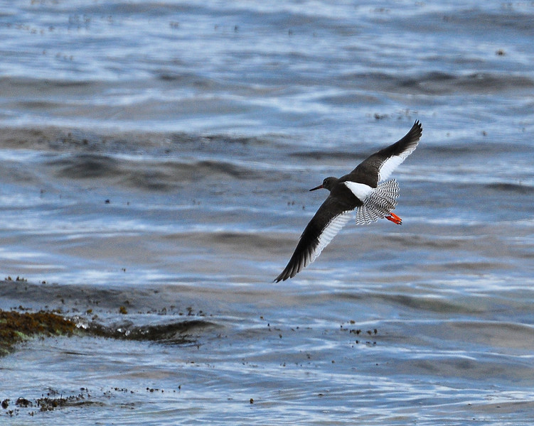 Oyster catcher in flight.