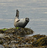 Common seal, Brodick Bay. 30.7.10