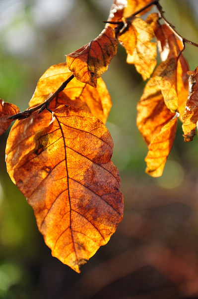 Beech leaves and sunlight.