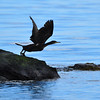 Shag launching from rock.