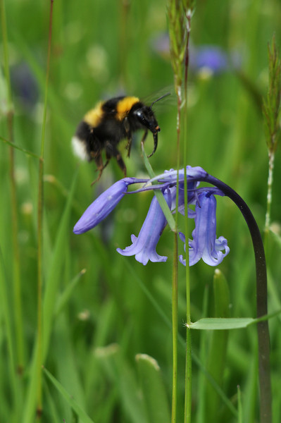 Bee and bluebell.