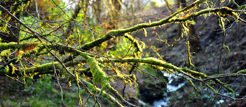 Branches and moss, Merkland Gorge.