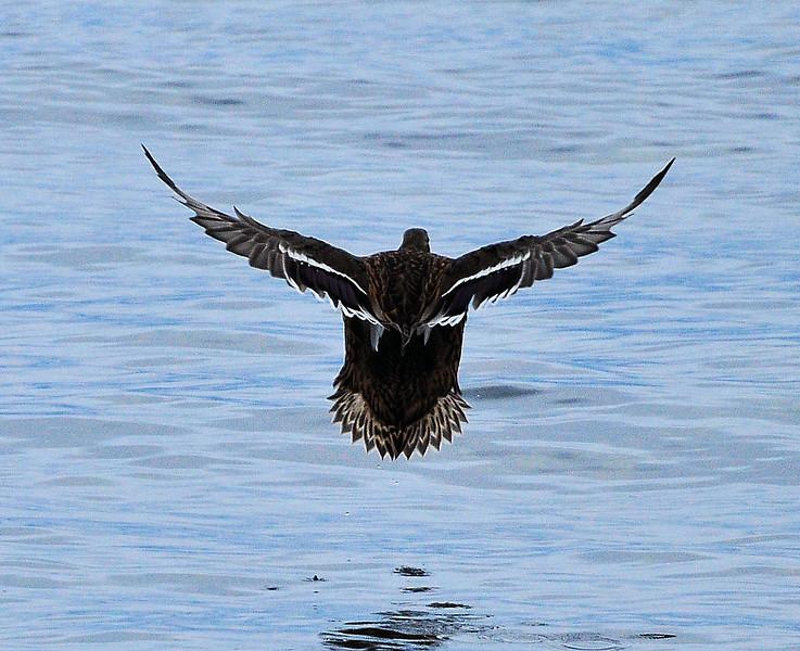 Female Malard taking off.