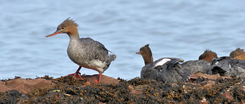 Female Merganser and young. Brodick bay. 1.8.10  No.2.