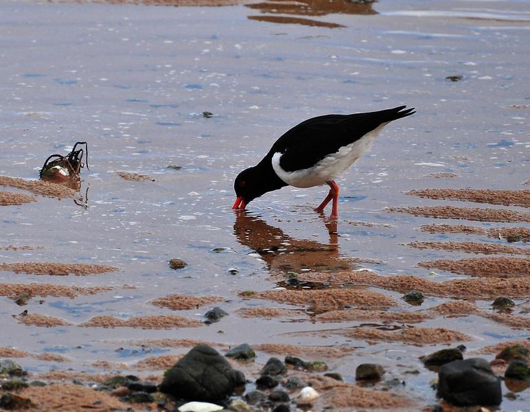 Oystercatcher feeding on the shore.