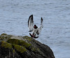 Oystercatcher landing.