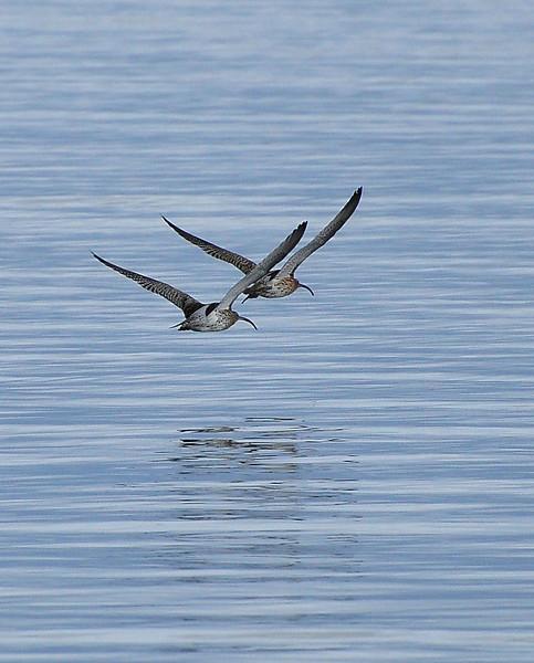 Curlews in flight.