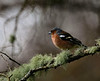 Chaffinch and moss.