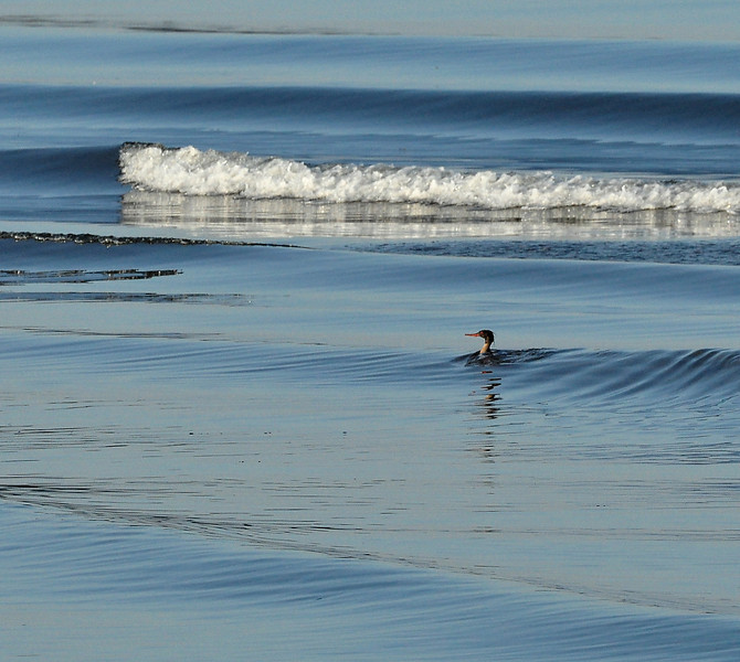 Merganser in waves.